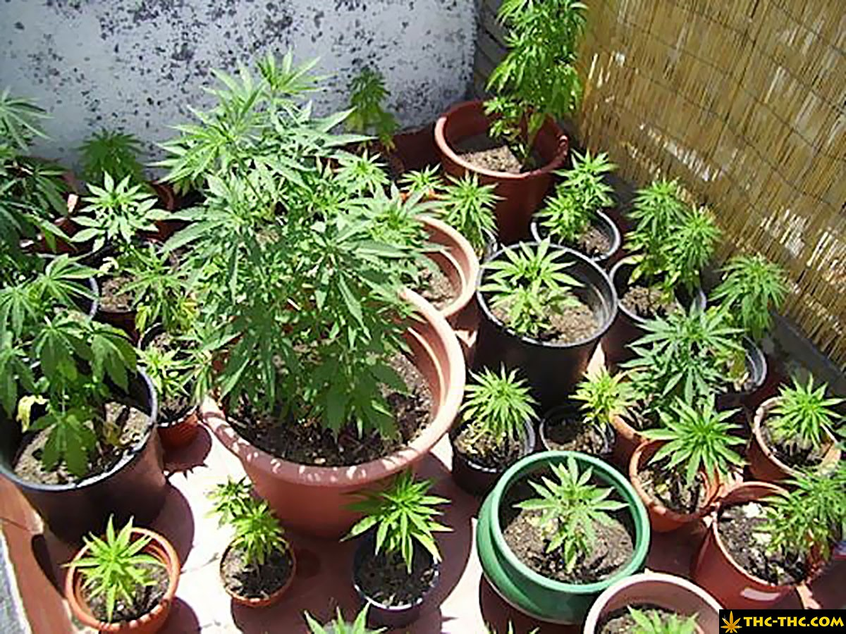 uprawa marihuany w hiszpanii 11