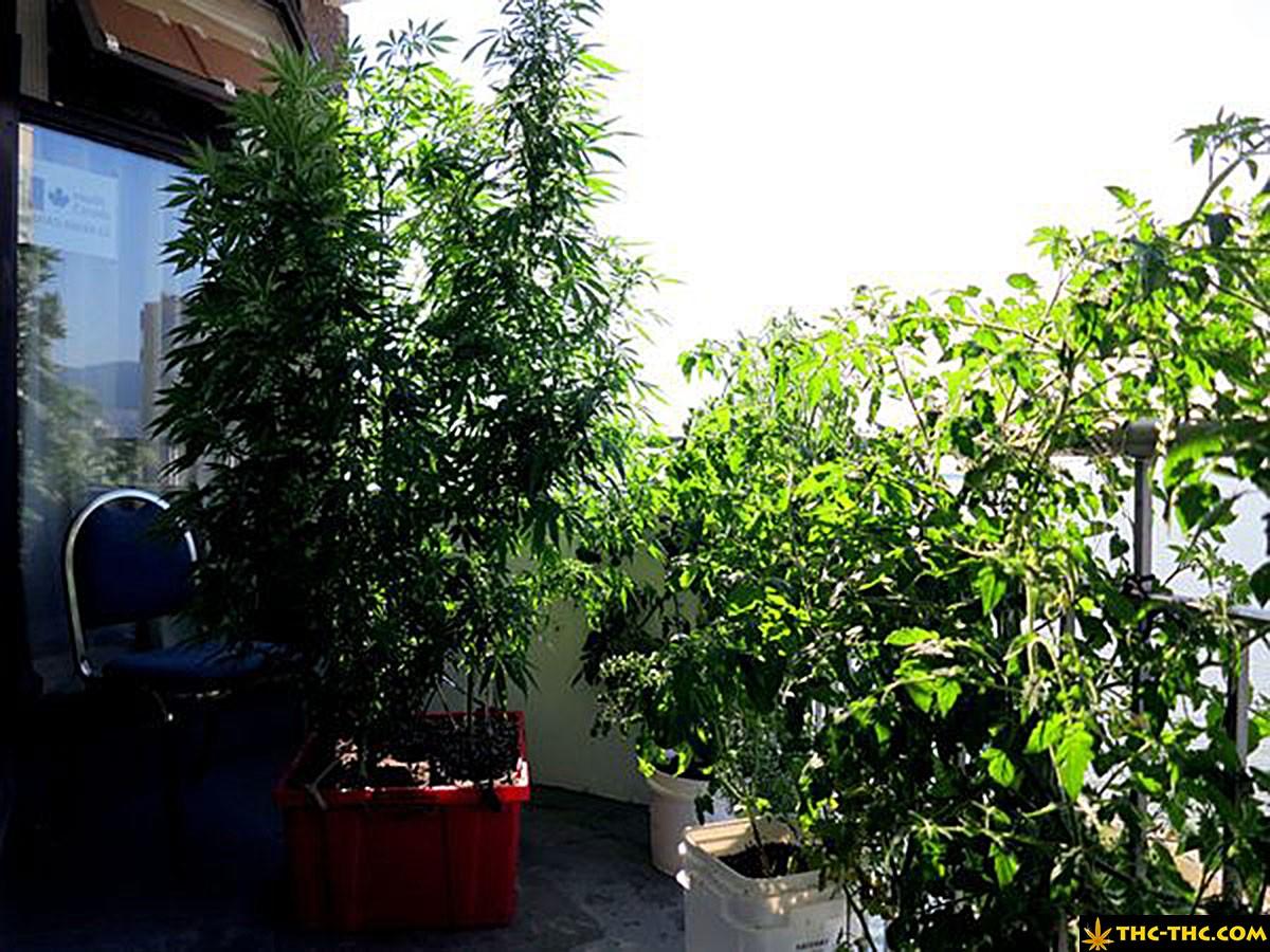 uprawa marihuany w hiszpanii 4