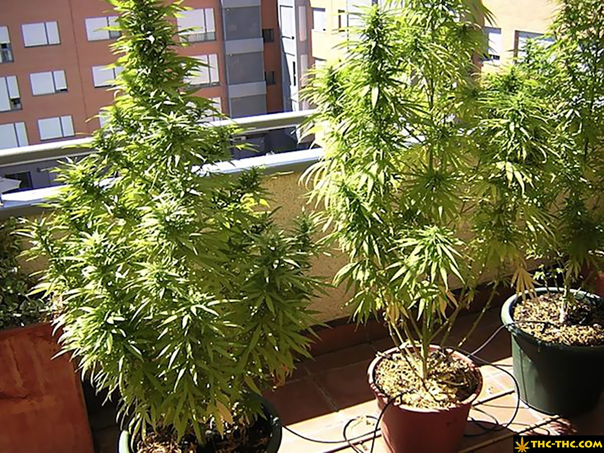 uprawa marihuany w hiszpanii 5