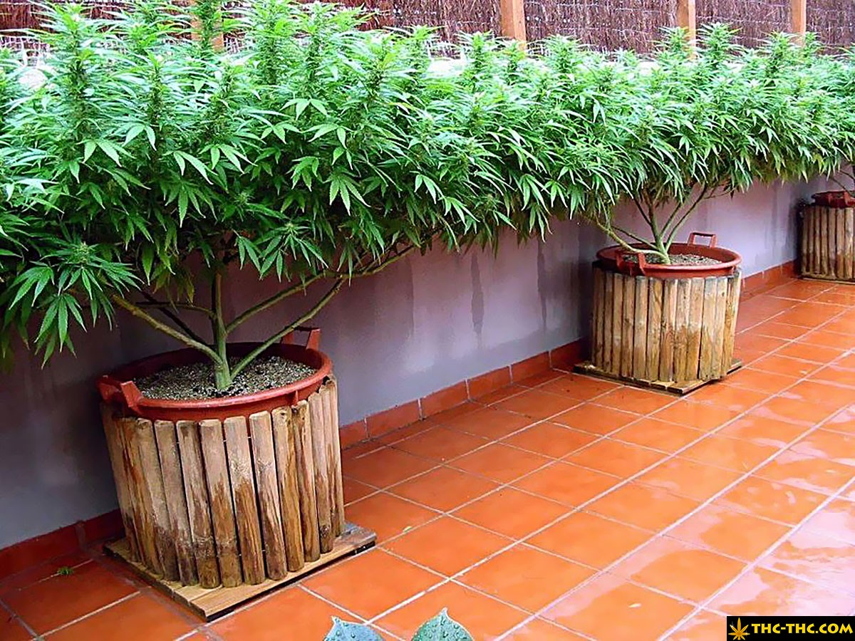 uprawa marihuany w hiszpanii 8